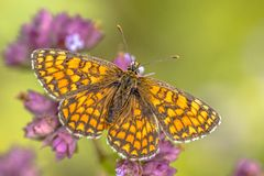 Meadow fritillary butterfly. Meadow fritillary (Melitaea parthenoides) butterfly resting on flower with bright green background royalty free stock photo