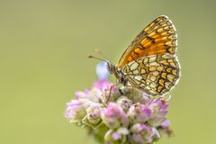 Meadow fritillary butterfly. Meadow fritillary (Melitaea parthenoides) butterfly resting on flower with bright green background stock image