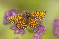 Meadow fritillary butterfly. Meadow fritillary (Melitaea parthenoides) butterfly resting on flower with bright green background stock photo