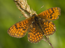 Meadow Fritillary (Melitaea parthenoides) stock photos