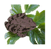 Meadow frog. The meadow frog sits on leaves Stock Images