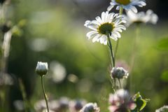 Daisies in a meadow on a fresh spring day royalty free stock photography
