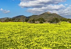 Meadow full of colorful daises with trees, hills and beautiful blue sky, son servera, mallorca, spain stock image