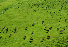 Meadow full of cows Stock Images