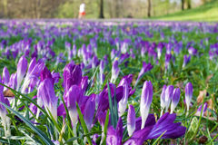 A meadow full of crocuses. In the Biebricher Schlosspark in Wiesbaden, Germany Royalty Free Stock Photos