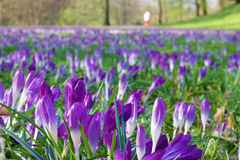 A meadow full of crocuses. In the Biebricher Schlosspark in Wiesbaden, Germany Royalty Free Stock Image