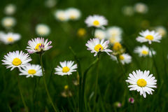 Meadow full of daisies Royalty Free Stock Photos