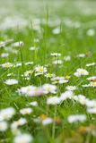 Meadow full of daisies Royalty Free Stock Image