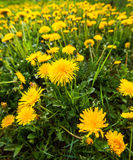 Meadow full of dandelion flowers Royalty Free Stock Images