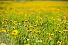 Meadow full of dandelions Stock Image