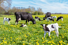 Meadow full of dandelions with grazing cows and calves Royalty Free Stock Image