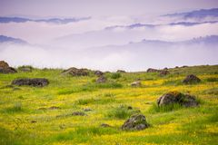 Meadow full of goldfield wildflowers; south San Francisco bay area, California. Meadow full of goldfield wildflowers; fog and clouds in the background, south San royalty free stock photography