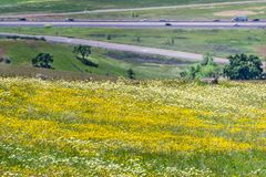 Meadow full of goldfield wildflowers; freeway in the background, south San Francisco bay area, California stock image