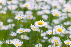 Meadow full with ox exe daisies Royalty Free Stock Photos