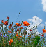 Meadow full of poppy flowers against blue sky Stock Photo