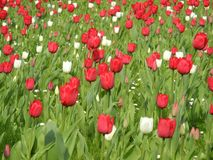 Spring time - flower meadow with a tulip landscape in red and white Stock Images