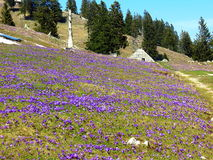 Meadow full of saffrons in front of a mountain hut Royalty Free Stock Image