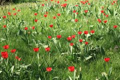 Meadow full of tulips Royalty Free Stock Images