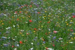 Meadow full of a variety of colorful wild flowers including blue cornflowers and yellow marigolds, England UK. Meadow full of a variety of colorful wild flowers royalty free stock image