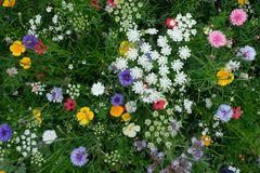 Meadow full of a variety of colorful wild flowers including blue cornflowers and yellow buttercups, England UK