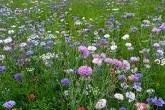 Meadow full of a variety of colorful wild flowers including blue and purple cornflowers, England UK