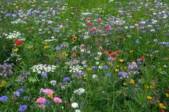 Meadow full of a variety of colorful wild flowers including blue cornflowers, and buttercups amongst the grass, England UK. Meadow full of a variety of colorful royalty free stock images