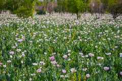 The meadow full of the white poppy stock image
