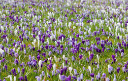 Meadow full of white and violet crocuses awaking from winter dre. Am. Aerial view Stock Images
