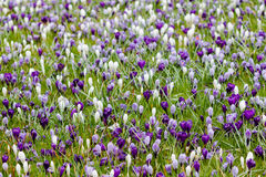 Meadow full of white and violet crocuses awaking from winter dre. Am. Aerial view Royalty Free Stock Photos