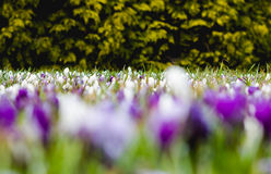 Meadow full of white and violet crocuses awaking from winter dre. Am. Low perspective view Stock Image