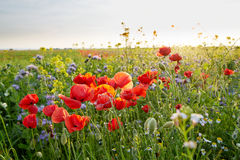 Meadow full of wild flowers at sunset Royalty Free Stock Image