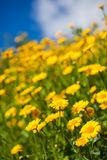 Meadow full of yellow aster wildflowers Royalty Free Stock Image