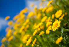 Meadow full of yellow aster wildflowers Stock Images