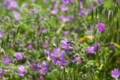 Meadow geranium bloom in a field in spring. Beautiful meadow geranium bloom, a field in spring stock image