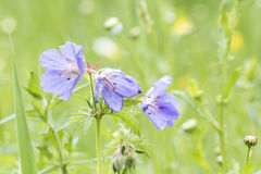 Meadow geranium blue flowers in a meadow Stock Photo
