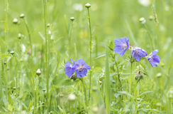 Meadow geranium blue flowers in a meadow Stock Image