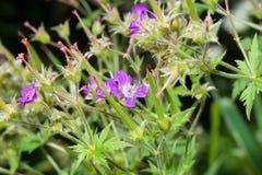 Meadow geranium Stock Photography