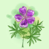 Meadow Geranium Royalty Free Stock Photography