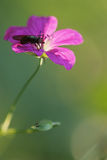 Meadow geranium and fly Stock Image