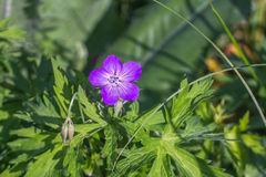 Meadow Geranium. Geranium flower. Geranium flower over soft green background royalty free stock images