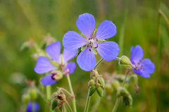 The meadow geranium ( Geranium pratense) Royalty Free Stock Photography