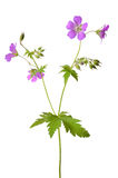 Meadow geranium (Geranium pratense) flower Royalty Free Stock Images
