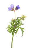 Meadow geranium, meadow cranesbill or Geranium pratense isolated on white background Royalty Free Stock Images