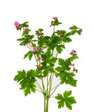Meadow geranium. (Geranium pratense) flower isolated on a white background royalty free stock images