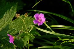 Flower of meadow geranium. stock photos