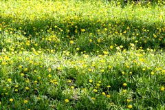 Meadow glade of yellow dandelions royalty free stock photo