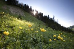 Meadow of globeflower in backlight Stock Images