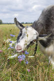 The meadow goat eats flowers Royalty Free Stock Photography