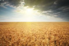 Meadow of golden wheat royalty free stock photos