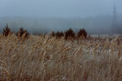 Meadow with grain crops on cold foggy morning in autumn. With electricity pole Stock Image